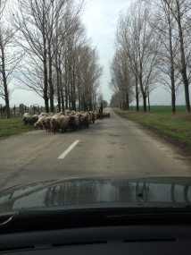 sheep on the road in Romania 3