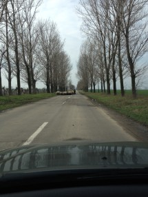 sheep on the road in Romania